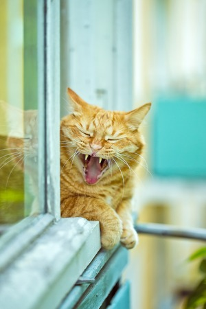A red yawning cat on the window photo