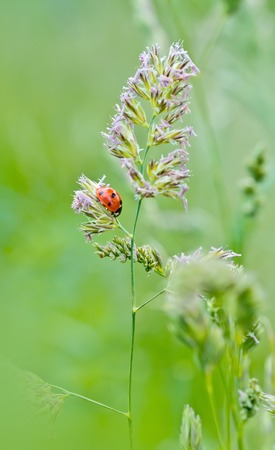Ladybug sunlight on the on grass. Beautiful close up of red ladybug in nature photo