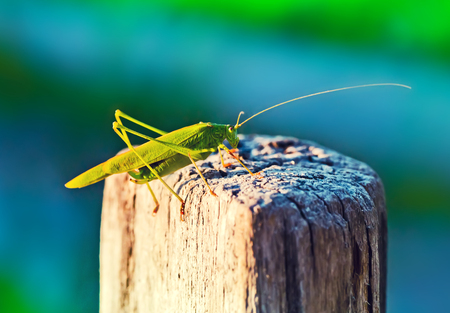 caelifera: Green grasshopper sitting on a wood fence