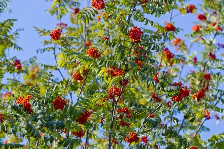 european rowan: Branch with berries of sea buckthorn and green leaves on a background of grass and sky