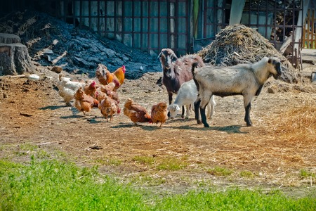 barnyard: Farm life - Goat and chicken in the barnyard