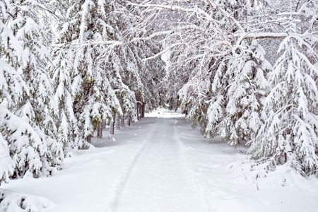 blue mountains tree frog: Winter trees road covered with fresh snow