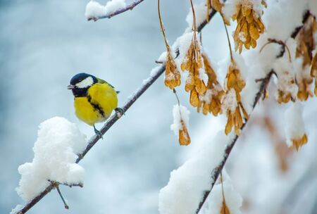 titmouse: great titmouse in winter time on a snowy branch Stock Photo