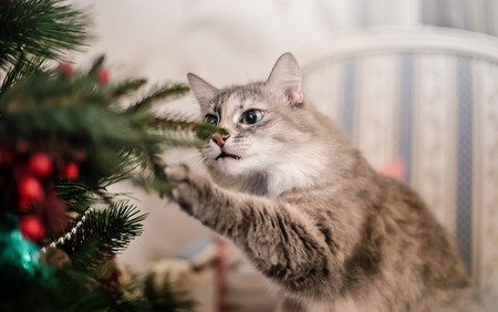 grey tabby: Cute grey tabby kitten investigating the decorations on a Christmas tree Stock Photo