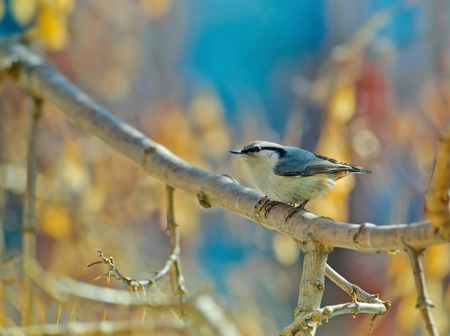 clinging: Eurasian nuthatch, wood nuthatch. clinging upside down to a branch Stock Photo