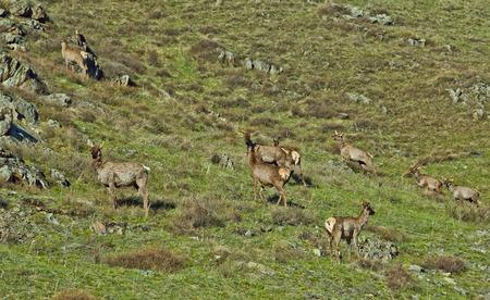 nibble: maral nibble grass, Russia, Siberia, Altai mountains, Chuya ridge.