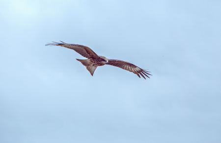 milvus: Red Kite flying through clear blue sky  - Milvus Milvus Stock Photo