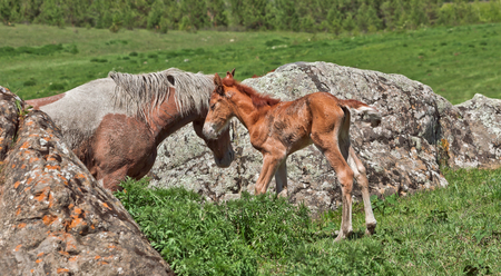 yegua: Wild horses: a mare and a newborn stay near stone Foto de archivo