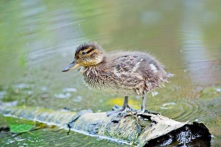 hummock: Mallard Duck stay on a hummock in a lake