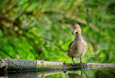 quacking: Female mallard duck stay on one leg on a Log in a Lake and quacking