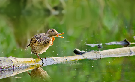 quacking: Female mallard duck Sitting on a Log in a Lake and quacking Stock Photo
