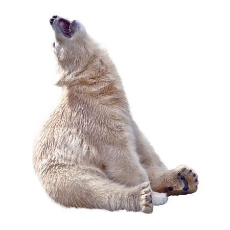pelage: The small polar bear sits and sing song isolated on a white