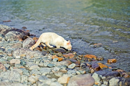 domastic cat drinking from the river at sunset on the shore
