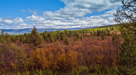 yellow and red autumn Dwarfish birches in the Altai mountain Stock Photo