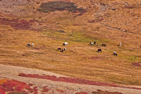 dwarfish: horses are grazed in the distance Colorful autumn landscape with red Dwarfish birches in the Altai mountain, Siberia, Russia