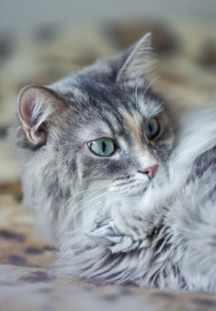 greeen: cute funny siberian gray cat with greeen eyes Relaxing, lying on the plaid, domestic cat, resting, elegant cat