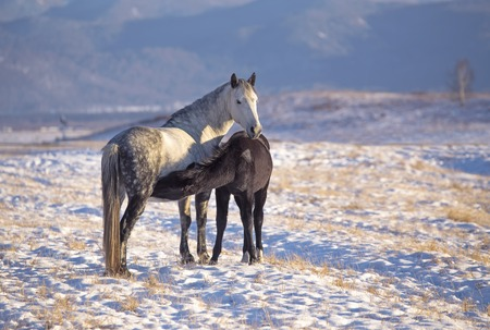 Horse foal suckling from mare in in a snowy meadow in winter time. Russia Altai, Siberia