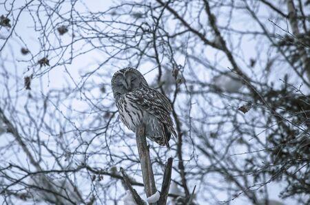 ural owl: Ural owl in natural habitat -strix uralensis in the winter time