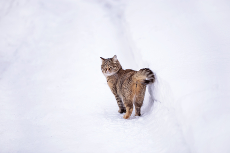 Cat out in the white winter snow. Stock Photo