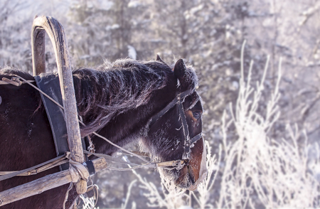 Portrait of a handsome stallion horse winter outdoors, sunny day Stock Photo