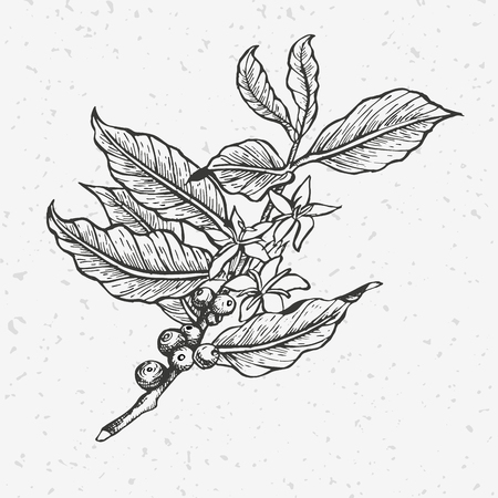 Coffee tree illustration. Illustration