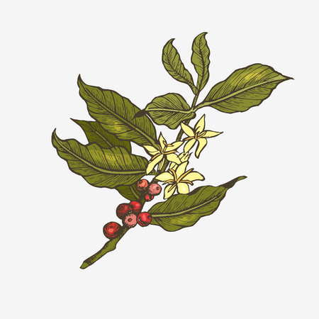 Coffee tree illustration. 向量圖像