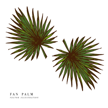 Full fresh fan shaped leaf of palmetto tree, vector illustration isolated on white background.
