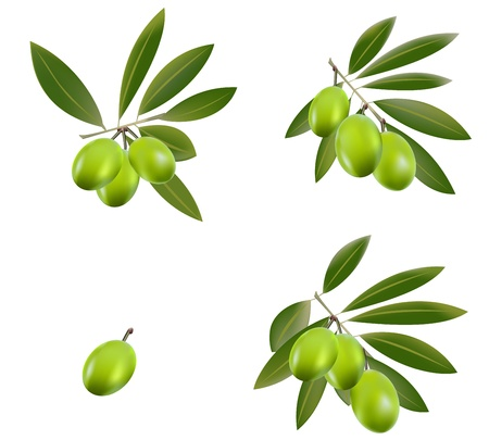 A set of green olive branches. Vector Illustration