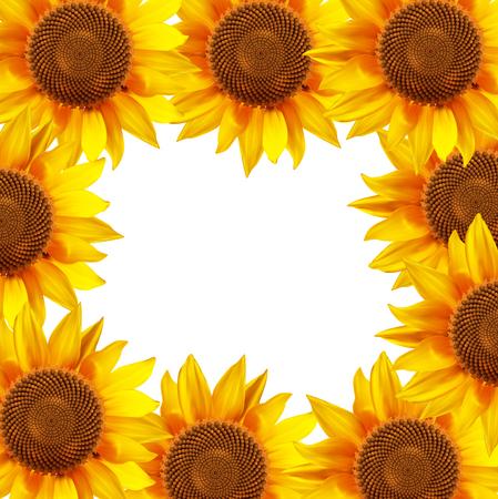 sunflower field: Sunflower flowers arranged in a circle. illustration.