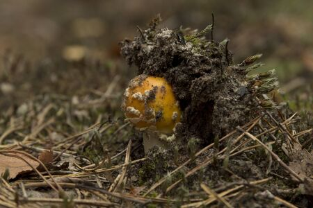 The colorful yellow mushroom growing in the forest