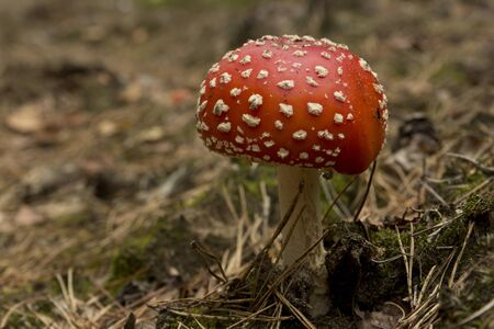 The colorful red mushroom growing in the forest Stock Photo