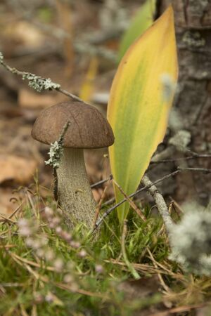 Brown cap boletus growing in the forest