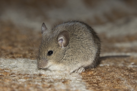 The little mouse sitting on the carpet
