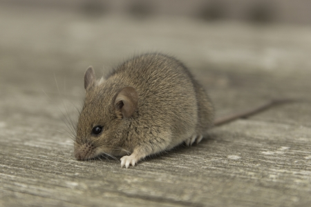 Little mouse sitting on the old wooden table Stock Photo