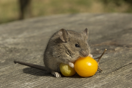 The little mouse sitting on the tomatoes Stock Photo