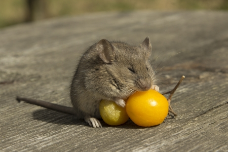 The little mouse sleeping on the tomatoes Stock Photo