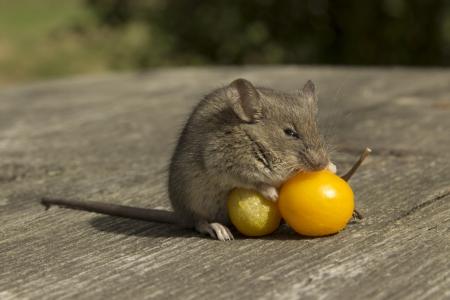 La petite souris de sommeil sur les tomates