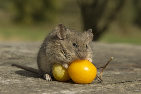 untruth: The little mouse sitting on the tomatoes Stock Photo