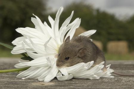 Petite souris assis sur la fleur blanche