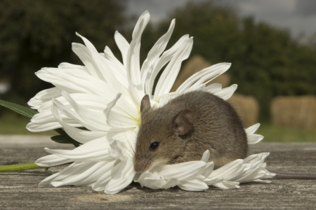 Little mouse sitting on the white flower Stock Photo
