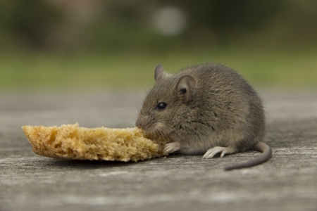 The little mouse nibbles the bread crust