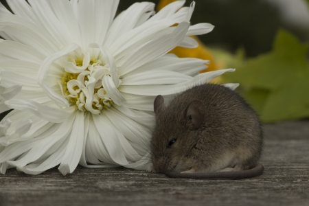 Little mouse sitting near the white flower