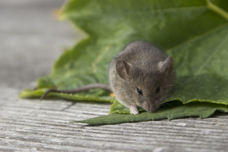 Little mouse sitting on the green leaf Stock Photo