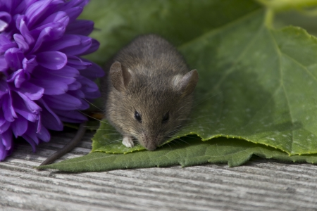 Little mouse sitting near the purple flower