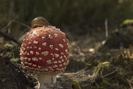 boron: The pretty snail crawling on the mushroom Stock Photo