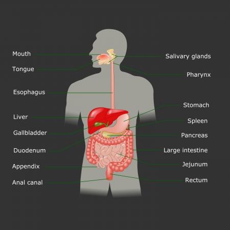 sistema digestivo: El sistema digestivo humano en formato vectorial
