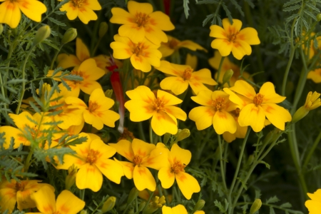 Lots of bright yellow flowers grow in the garden Stock Photo