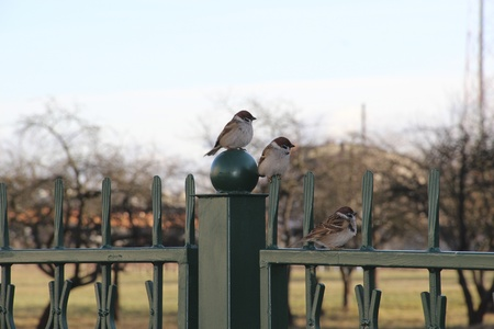 Three sparrows sitting on the fence in the park