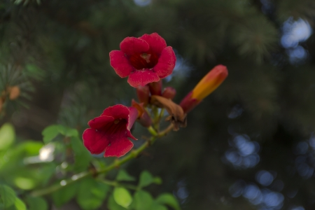 The red flowers on background of trees Stock Photo