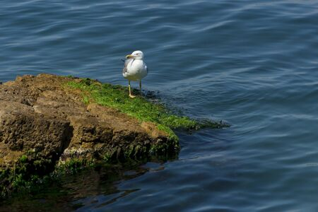 Seagull proudly walking on rocks Stock Photo